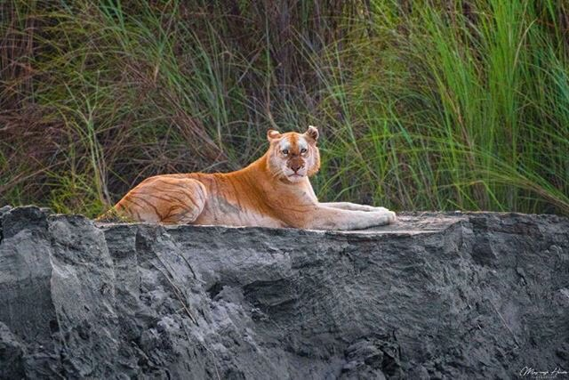 viral picture | india's only golden tiger spotted in kaziranga national park assam