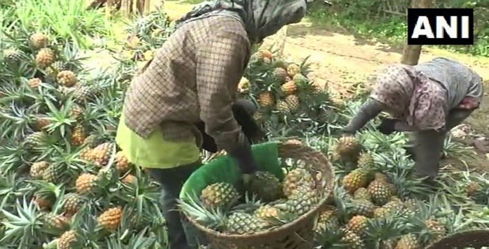 nagaland pineapple farmers face tough times