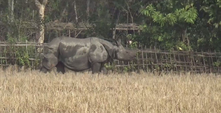 stray rhino creates panic in sootea