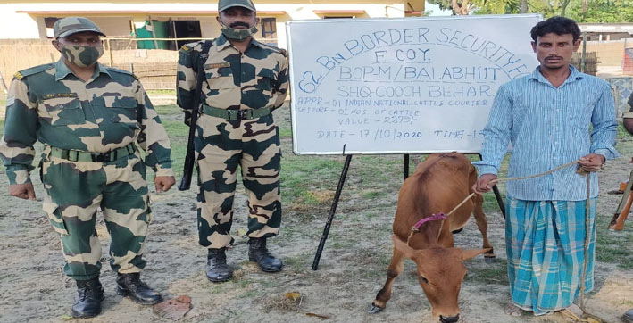 bsf apprehends cattle smuggler rescues 39 cattle