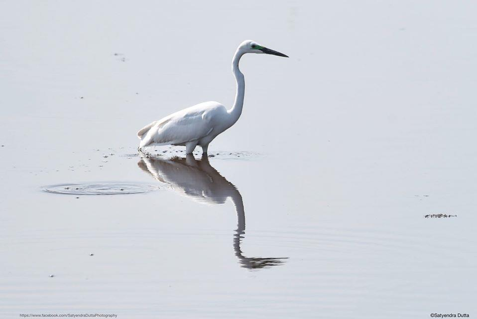 Great egret (Ardea alba), Location: Sivasagar