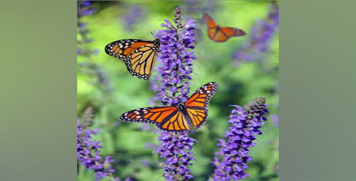 Butterflies, moths have difficulty adjusting to changing climate: Study
