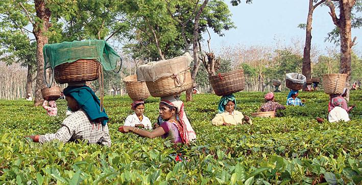assam-to-employ-tea-workers-under-mgnerega-scheme-in-winter-months