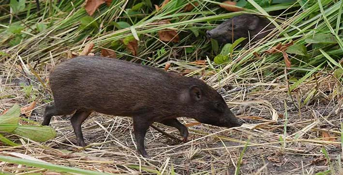 worlds-smallest-hog-released-into-wild-by-conservationists-in-assam