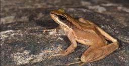 New Species of Frog Discovered in Arunachal Pradesh